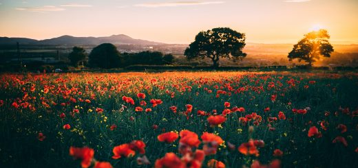 Sunset view across filed of poppies over Newtongrange with pit head and Pentland hills visible